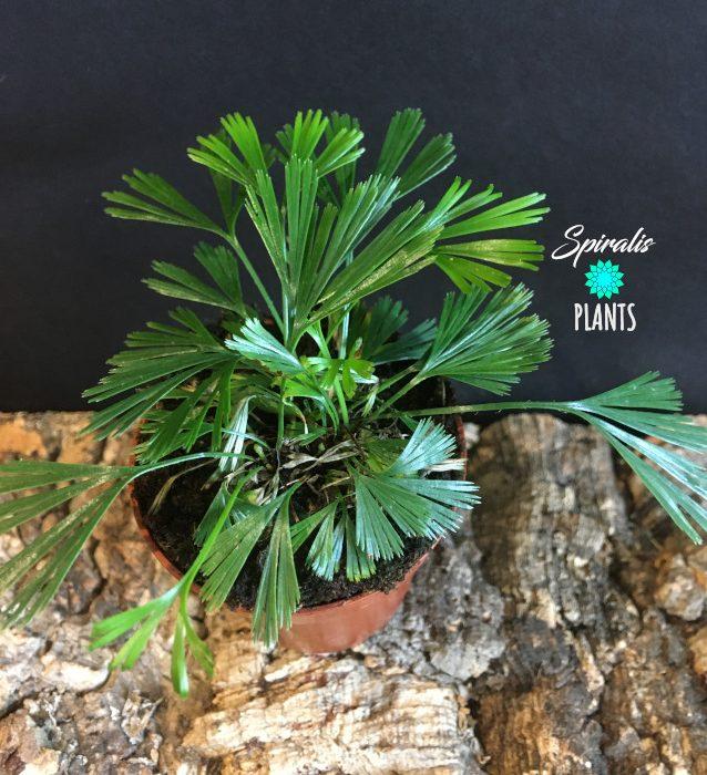 Actiniopteris australis Eyelash Fern