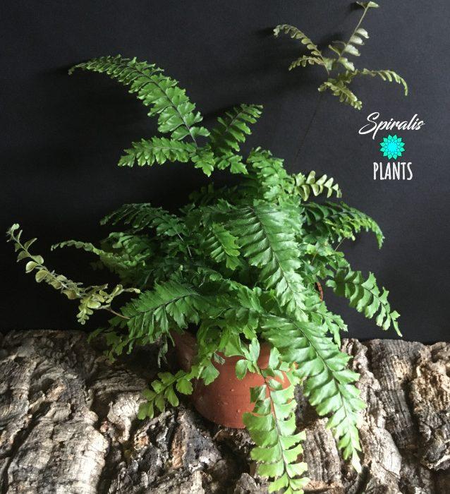 Adiantum bronze venus indoor fern plant