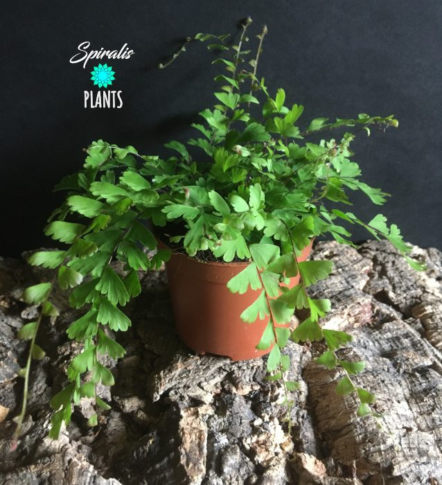 Adiantum caudatum walking maidenhair fern