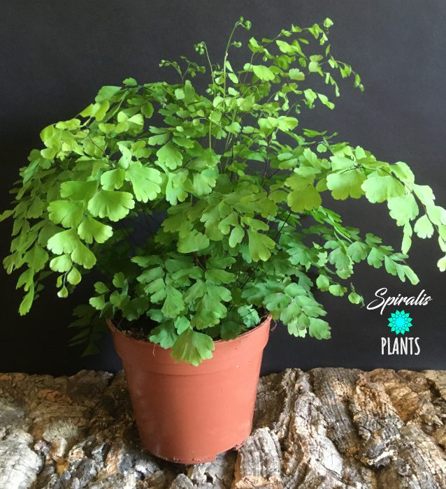 Adiantum maidenhair fern indoor house bathroom plant