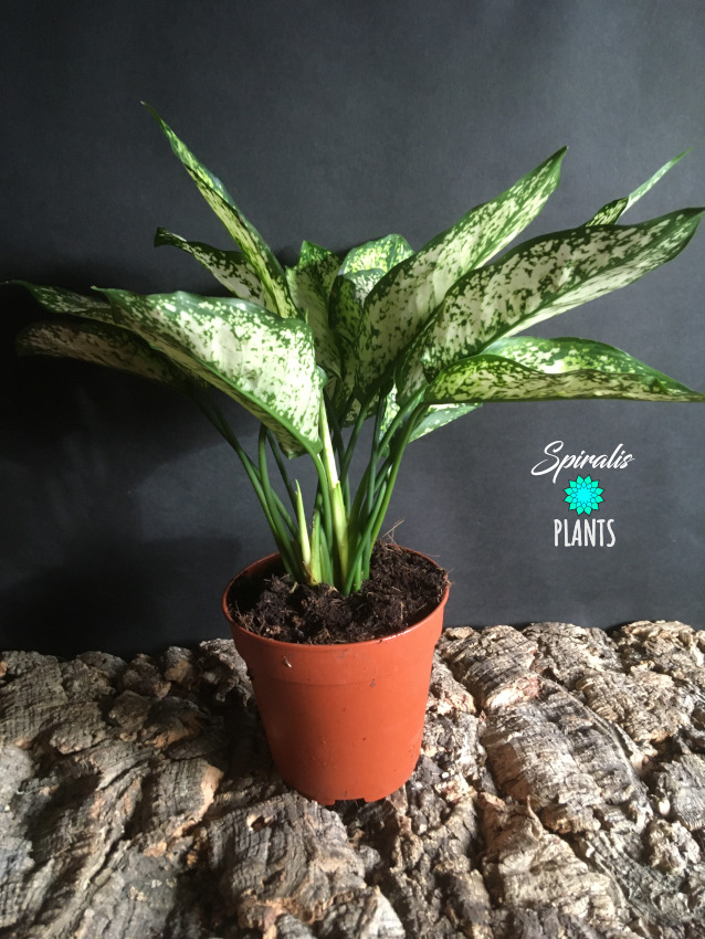 Aglaonema White diamond potted house plant aroid air purifying