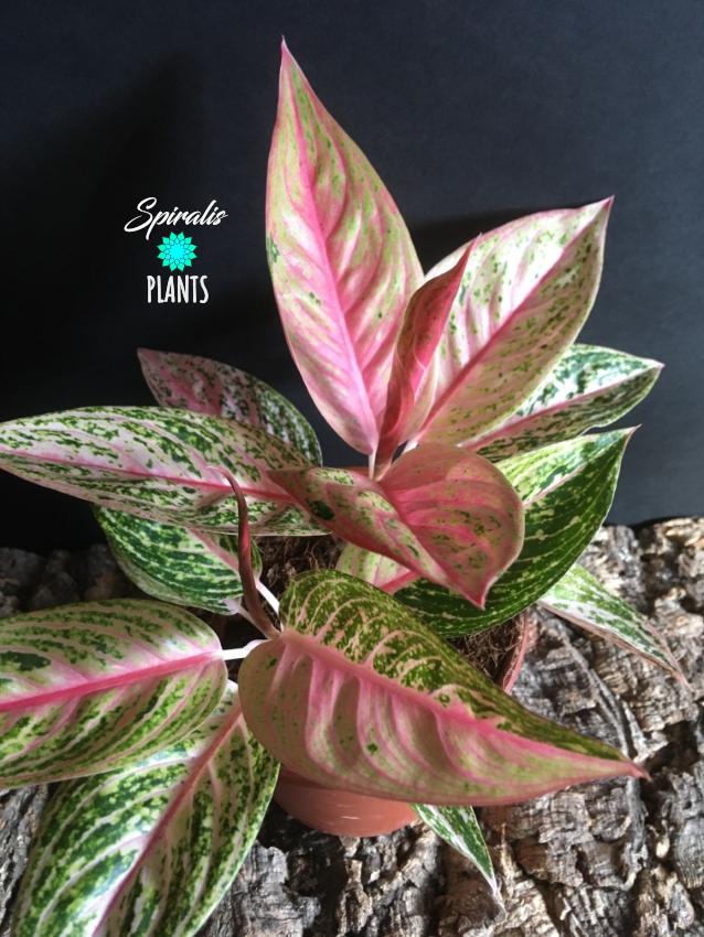 Aglaonema bidadari rare house plant aroids pink foliage