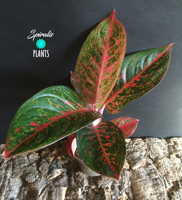 Aglaonema dark pink star rare tropical aroid plant