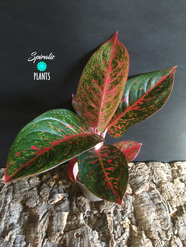 Aglaonema dark pink star rare tropical aroid plant