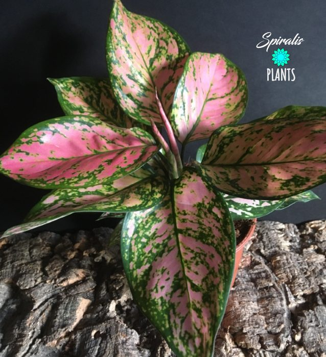 Aglaonema pink dalmation rare indoor plants aroids