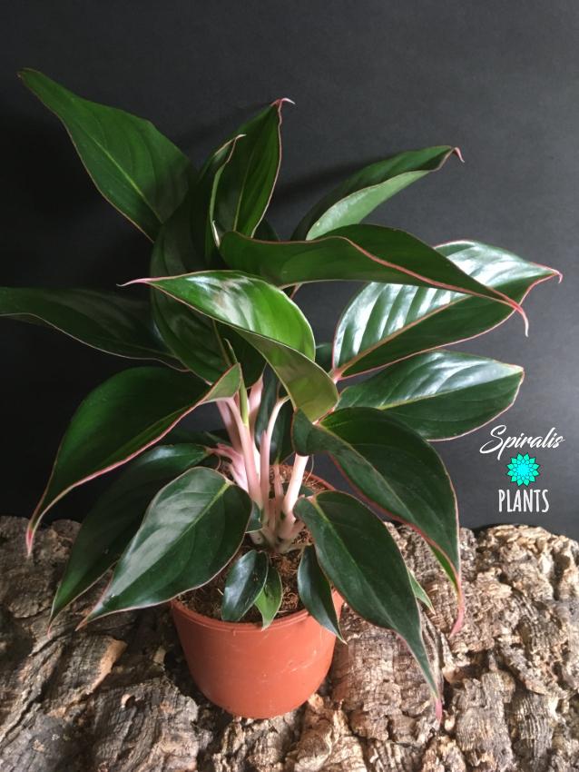 Aglaonema pink edge foliage rare house plant