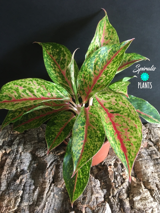 Aglaonema variegated rare pink gold aroid house plant