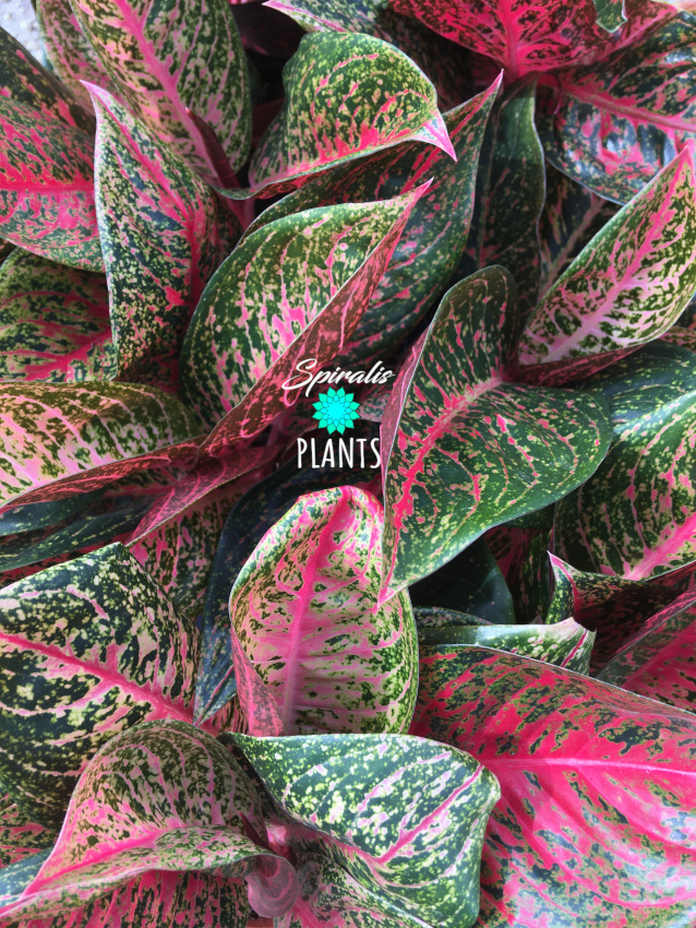 Agloanema red variegated house plants