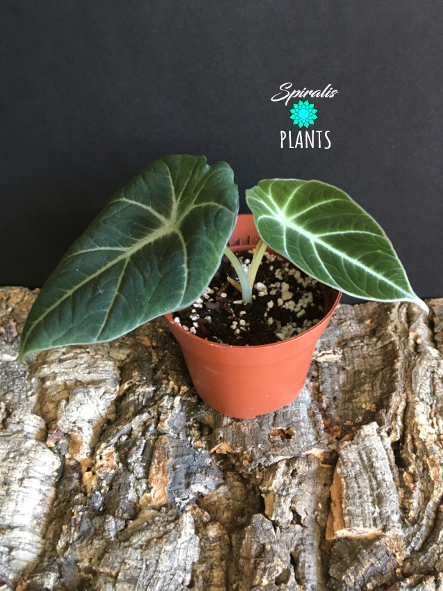 Alocasia black velvet rare aroid baby house plant