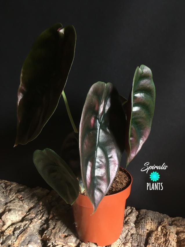 Alocasia cuprea Red Secret Jewel Rare Aroid House Plants
