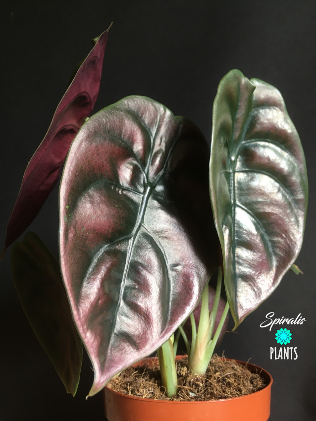 Alocasia cuprea Red Secret Jewel Rare Aroids Indoor Plants metallic