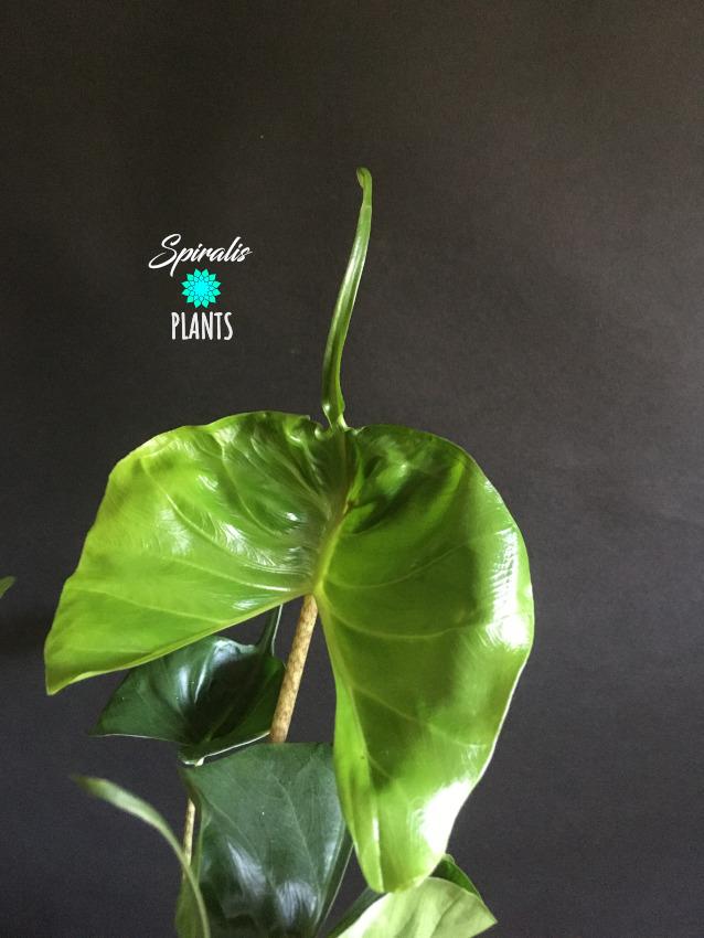 Alocasia stingray rare aroids indoor plants foliage