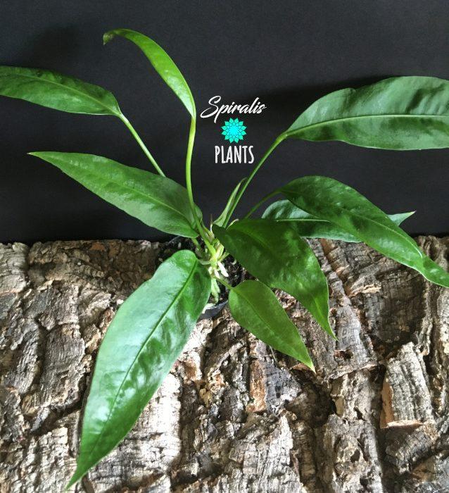 Anthurium gracile rare aroids tropical house plant
