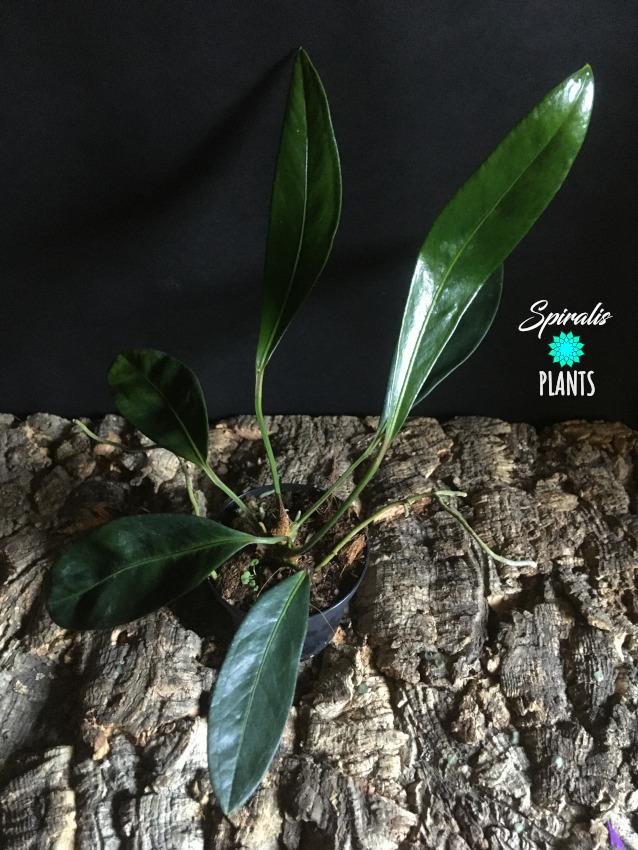 Anthurium obtusum epiphytic aroid rare house plant