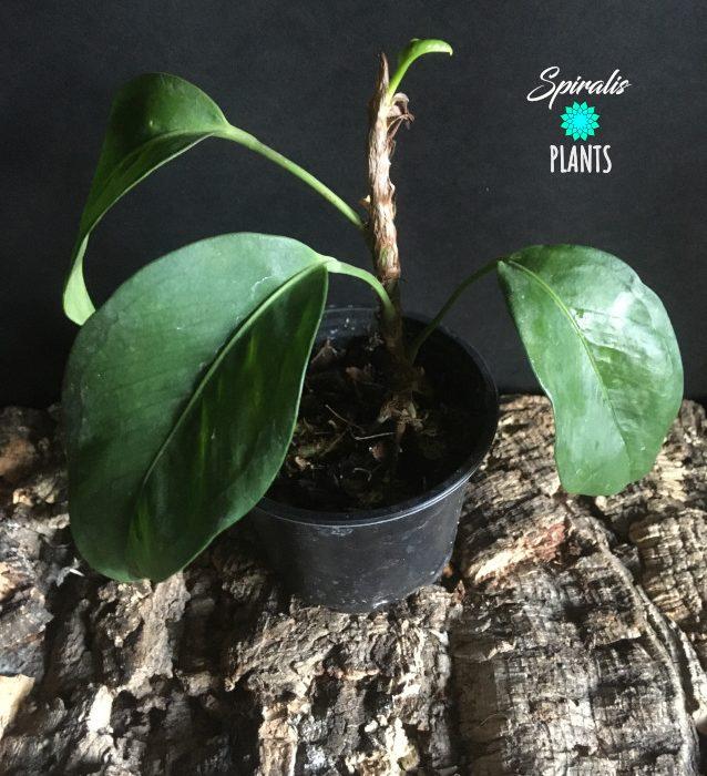 Anthurium scandens rare aroid terrarium climbing house plant