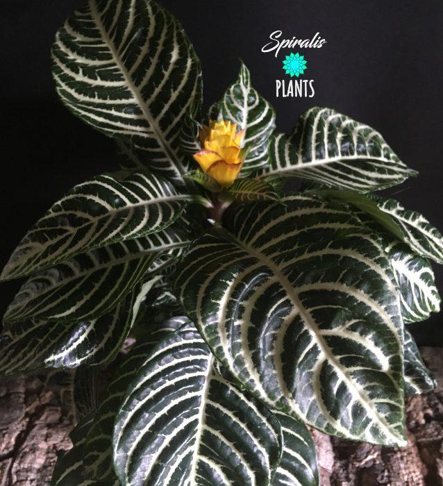 Aphelandra squarrosa Dania tropical variegated flowering indoor plant