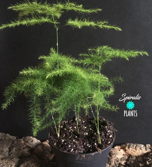 Asparagus plumosus fern baby plant small terrarium plant
