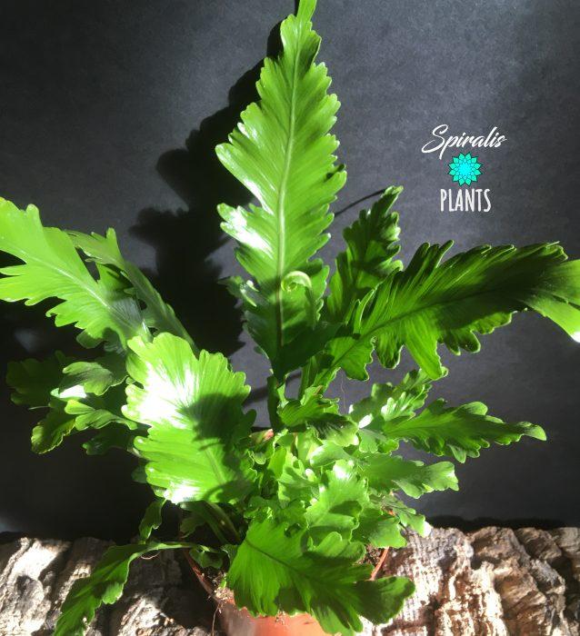 Asplenium nidus campio indoor fern
