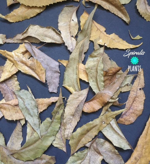 Azadirachta indica neem leaves natural vivarium terrarium decor leaf litter