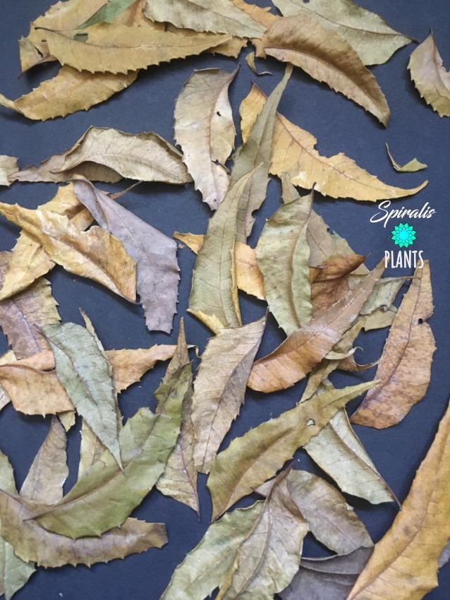 Azadirachta indica neem leaves natural vivarium terrarium decor leaf litter