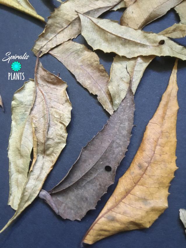 Azadirachta indica neem leaves terrarium vivarium natural decor leaf litter