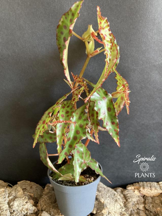 Begonia amphioxus tropical terrarium house plant rare red yellow spotted