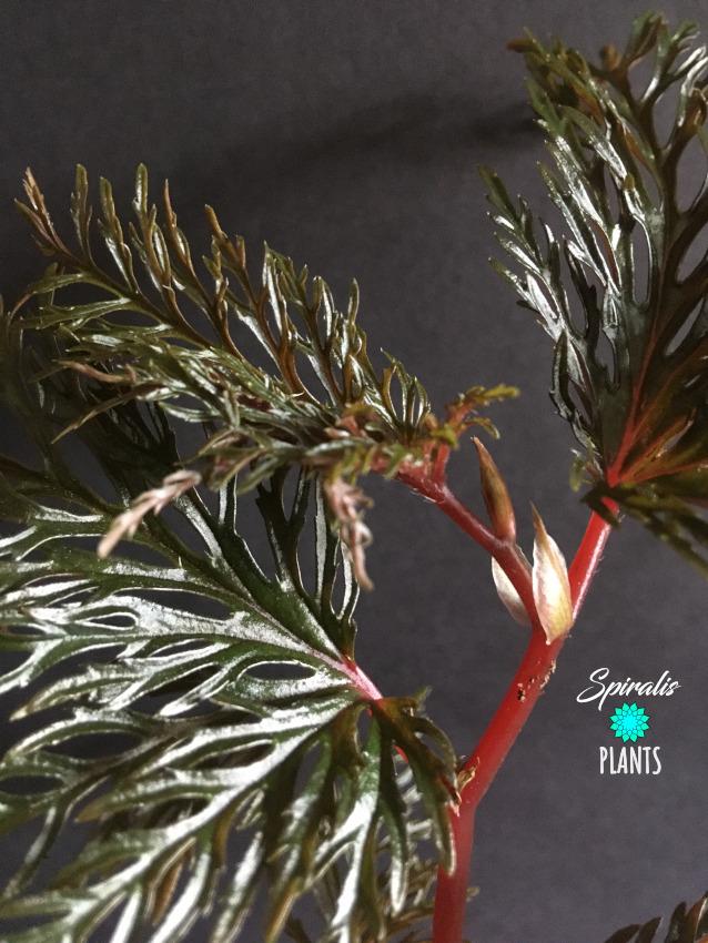 Begonia bipinnatifida fern leaf rare terrarium plant