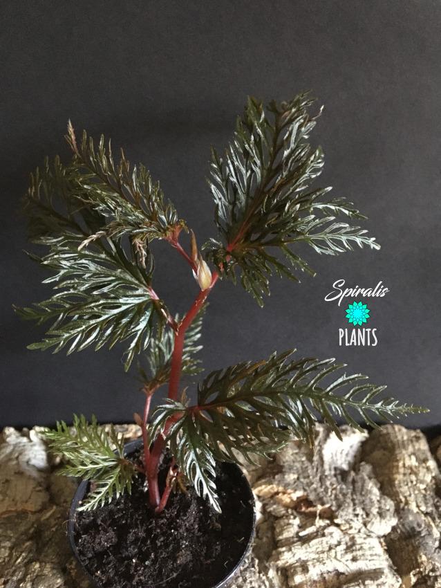 Begonia bipinnatifida fern leaf rare terrarium plants