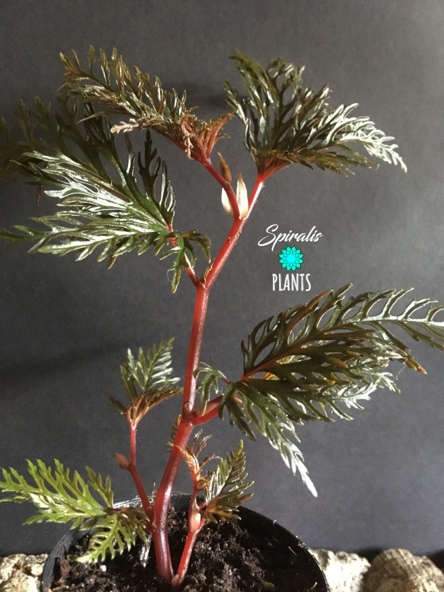Begonia bipinnatifida rare terrarium fern leaf plant