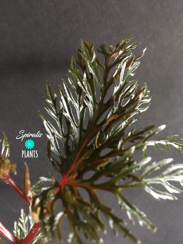 Begonia bipinnatifida rare terrarium plant