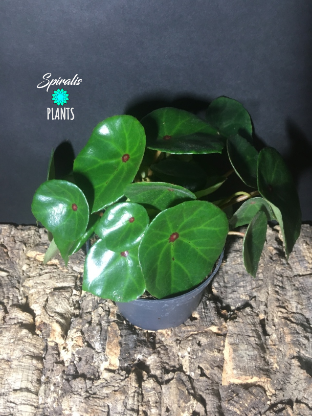 Begonia conchifolia red and green indoor plant