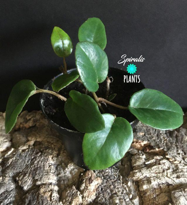 Begonia elaeagnifolia 'Schulzei' rare terrarium plant