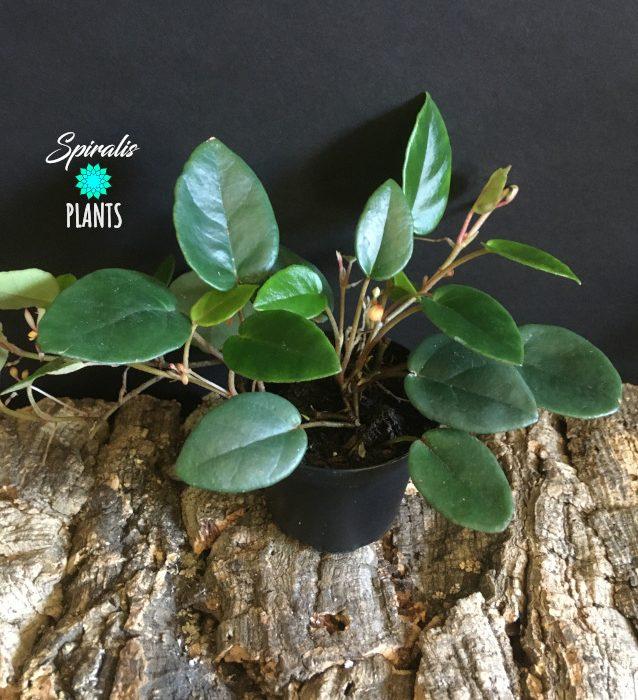 Begonia elaeagnifolia 'Schulzei' rare tropical terrarium plant
