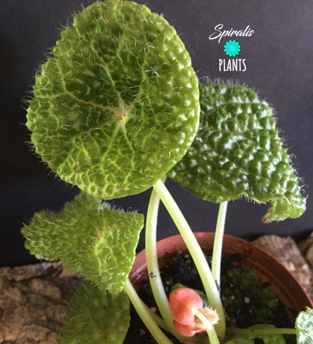 Begonia microsperma rare terrarium plants