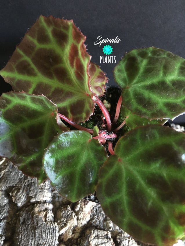 Begonia rajah rare terrarium house plants
