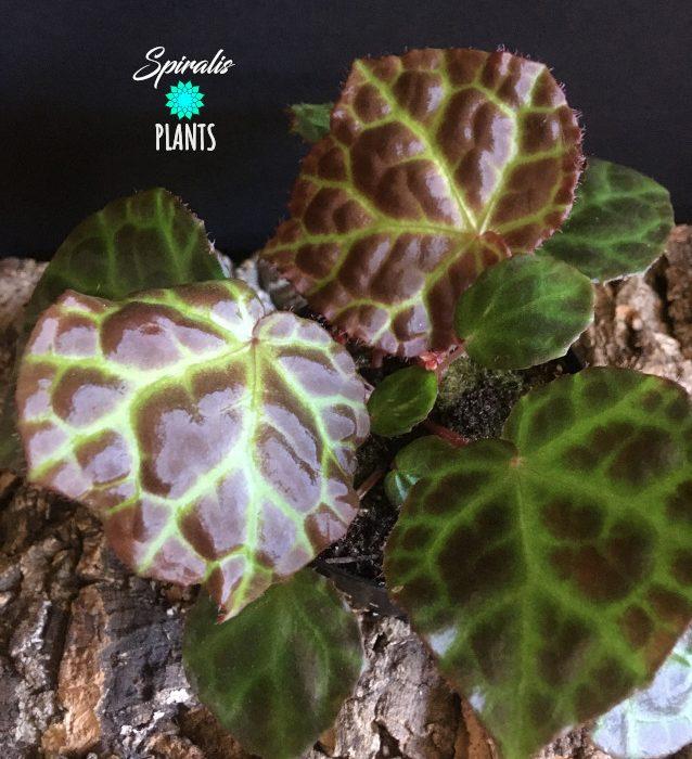 Begonia rajah rare terrarium species tropical plant