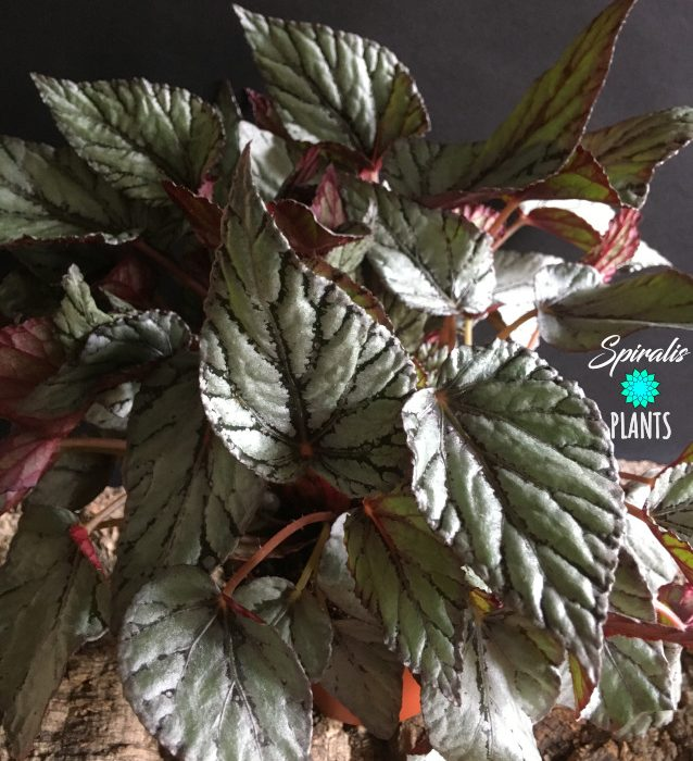 Begonia rex arctic breeze silver house plant