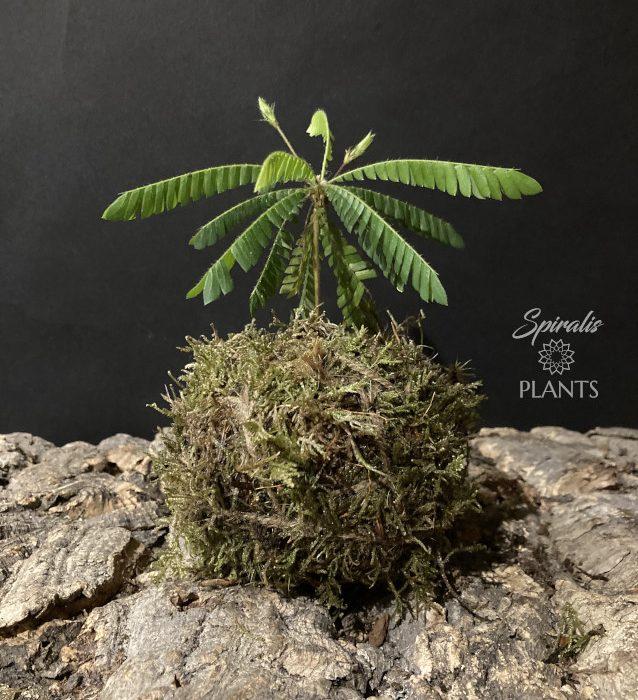 Biophytum sensitivum kokedama little palm tree house plant