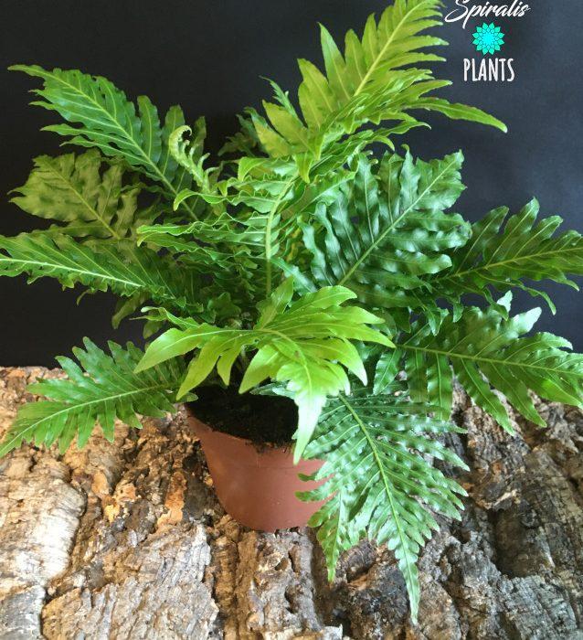 Blechnum gibbum indoor fern house plant