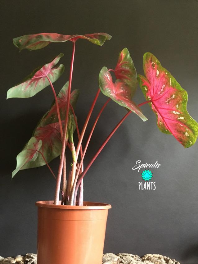 Caladium Red Flash red foliage tropical plants