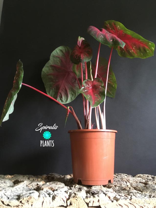 Caladium Red Flash tropical foliage plant