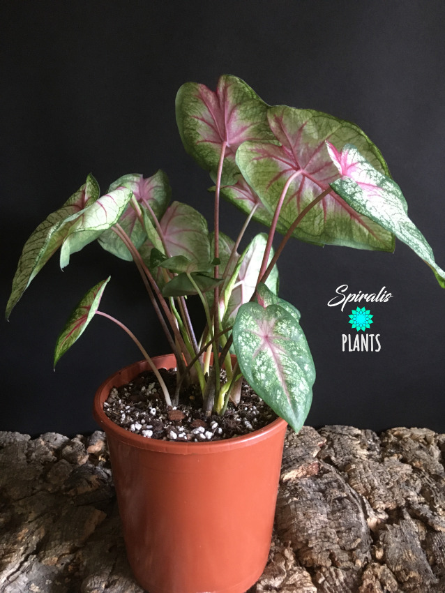 Caladium Summer Pink tropical house plant