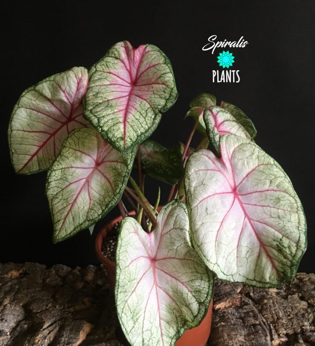 Caladium white queen white tropical house plant