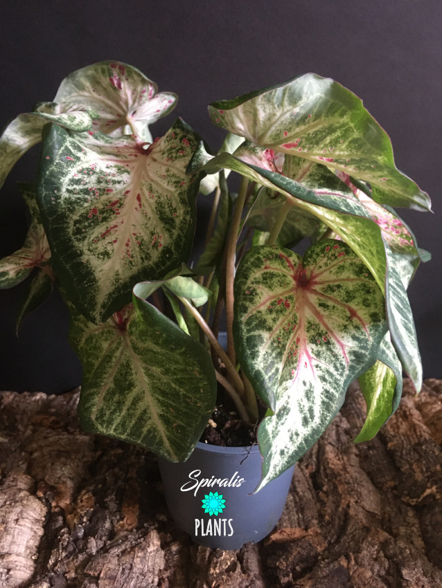 Caladium pink speckled white green rare tropical house plant aroid