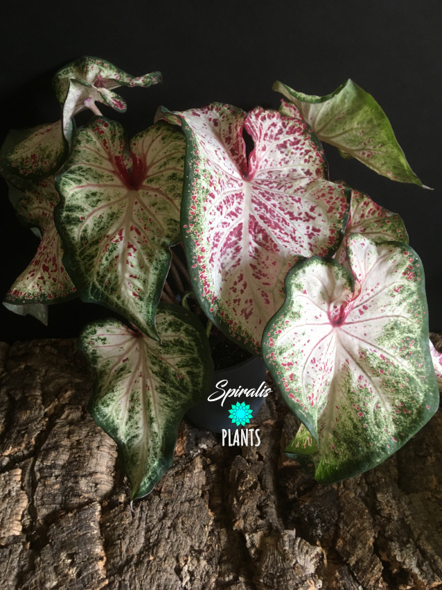Caladium pink speckled white green tropical plant