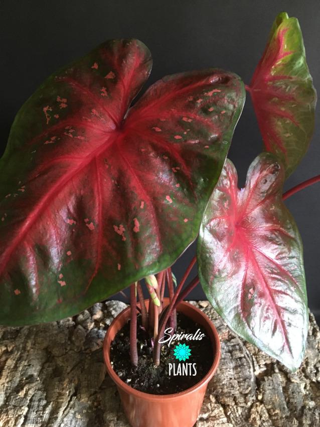 Caladium red flash red foliage tropical plant