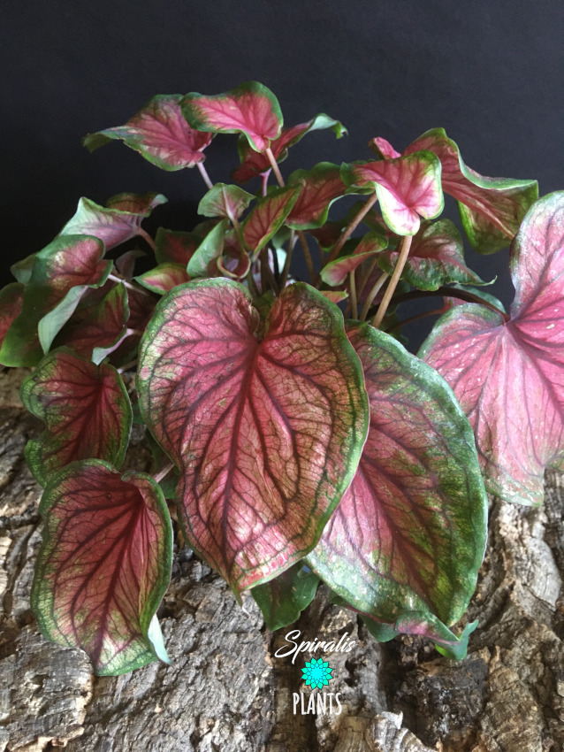 Caladium red sweetheart rare aroid tropical house plant