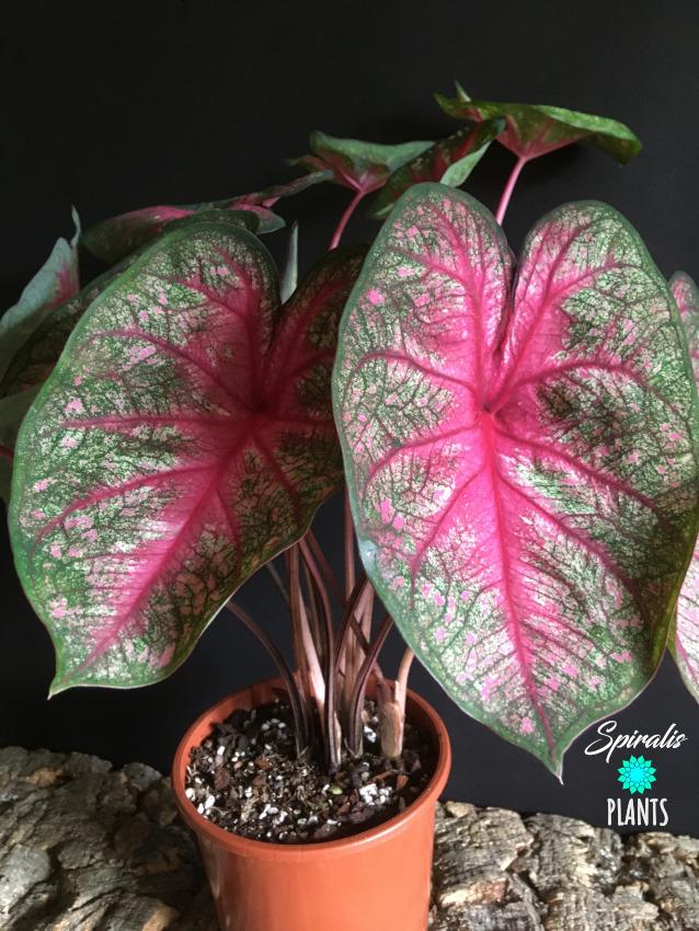 Caladium rosebud tropical foliage house plant