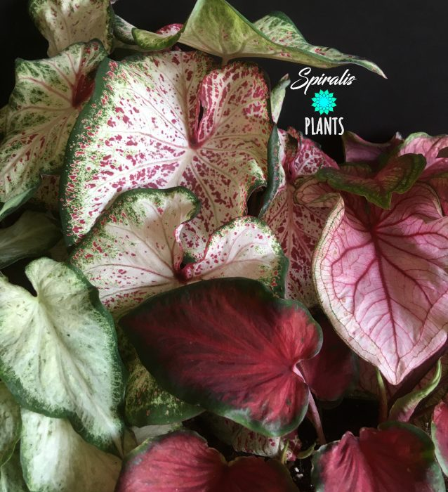 Caladium strap leaf dwarf varieties rare aroid house plants