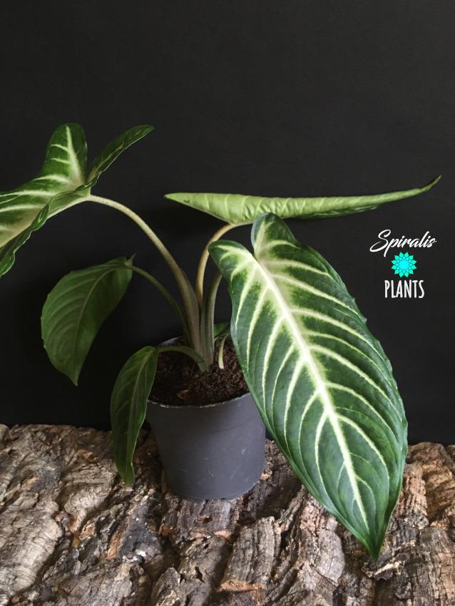 Caladium xanthosoma lindenii rare aroid house plant large